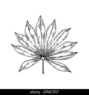 Hoja de palmera dibujada a mano aislada sobre blanco. Ilustración vectorial en estilo de croquis.