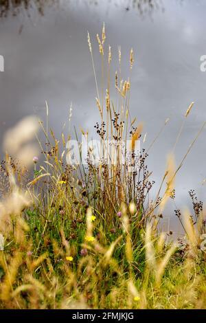 Pastos de verano con cabezas de semillas al lado de un estanque con reflejos del cielo en el agua en el fondo.