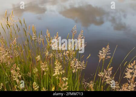Pastos de verano al lado de un estanque con el cielo reflejado en el agua en el fondo.