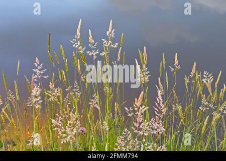 Pastos de verano con cabezas de semillas al lado de un estanque con el cielo reflejado en el agua en el fondo.
