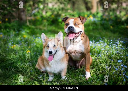 Dos amigos de perros, el galés Corgi Pembroke y el americano Pit Bull Terrier