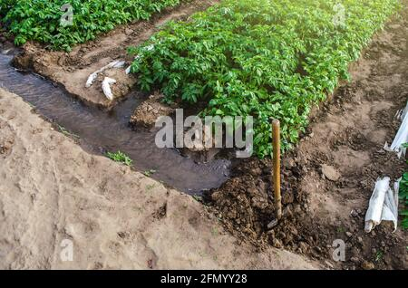 El agua fluye a través de los canales hacia un túnel de invernadero con una plantación de matorrales de papa. Cultivo de cultivos a principios de primavera utilizando invernaderos. Agricultura Irrig