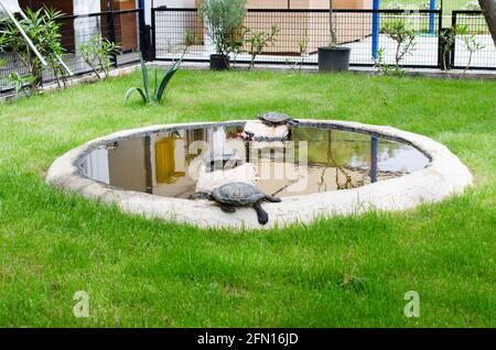 Tortugas en un pequeño estanque decorativo, entre césped verde. Las tortugas están cercadas.