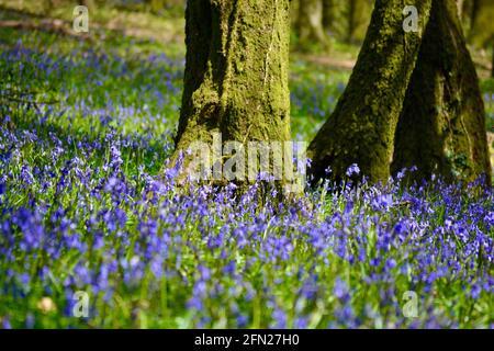 Los bosques de bluebell, el lugar perfecto para caminar en primavera con una alfombra de flores azules dondequiera que mire.