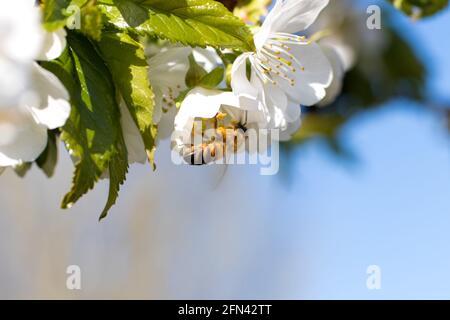 Macro primer plano abeja poliniza el árbol de albaricoque en flor, recoge el polen. Florecimiento primaveral de árboles frutales.