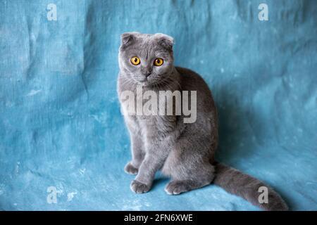 Gato escocés gris sobre lona azul