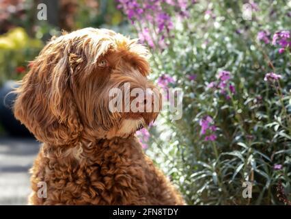 Perro de Labradoodle delante de las flores. Vista parcial del lindo perro de albaricoque rizado sentado en el patio delantero, mirando algo. Enfoque selectivo en la hea