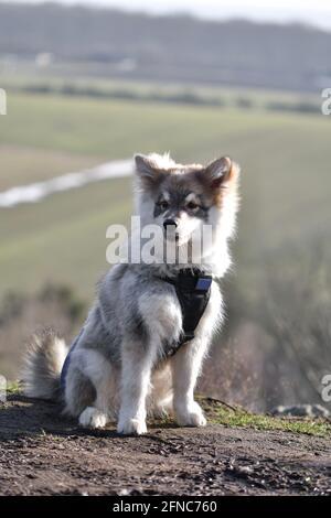 Retrato de un joven cachorro finlandés Lapphund perro sentado en frente a una bonita vista