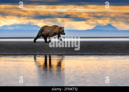 Osos pardos costeros, Parque Nacional Lake Clark, Alaska