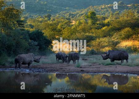 Rinocerontes en el Parque Nacional Pilanesberg, Sudáfrica. Rinoceronte blanco, Ceratotherium simum, gran animal de naturaleza africana, cerca del agua. Vida salvaje escena fr