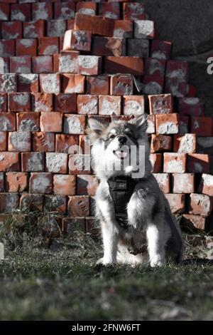 Retrato de un joven cachorro finlandés Lapphund perro en frente de ladrillos