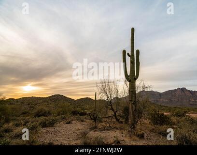 Cactus Saguaro cerca del atardecer en el desierto de Arizona