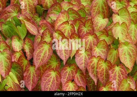 Primer plano de las hojas rojas y verdes de la planta de Epimedium x rubrum comúnmente conocida como Barrenwort. El resumen deja el fondo.