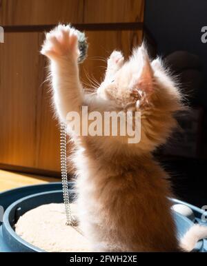Un gatito de jengibre blanco y naranja de color buff esponjoso juega con un juguete al sol