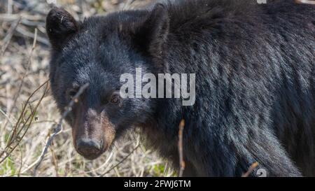 Cerca de la cara de un oso negro visto en el salvaje comer con hierba, verdor en su boca con el salón, los dientes que se muestran. Fondo marrón borroso.