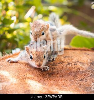El bebé de la ardilla del hermano pequeño monta a los hermanos grandes detrás, fotografía adorable linda animal-temática, los bebés de la ardilla de la palma de tres-rayados son abandonados por el paren