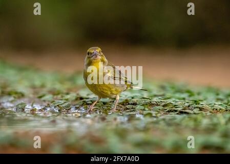 Greenfinch Europeo (Carduelis chloris) Un pequeño ave paseriforme de la familia de pinch Fringillidae. Fotografiado cerca de un charco de agua en el Negev des