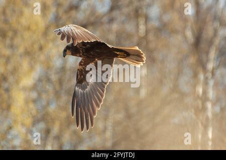 La marisma occidental arrier volando en el bosque de abedules en la mañana de primavera en Finlandia occidental.