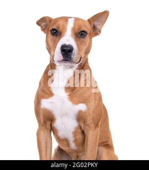 Cerca de rojo americano Staffordshire terrier aislado en un fondo blanco.One oído está para arriba. Una de las orejas es Red American Pit Bull Terrier. Raza mixta.