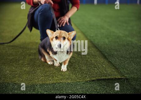 Un cachorro curioso mirando hacia delante durante una sesión de entrenamiento