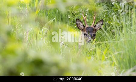Fauna del Reino Unido: Ciervo de huevas europeo (Capreolus capreolus) con una flor silvestre sobre su nariz, escondida en largas hierbas en Burley-in-Wharfedale pueblo, Wes