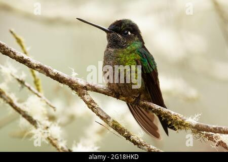 Talamanca (admirable) Hummingbird - Eugenes spectabilis es un gran colibrí que vive en Costa Rica y Panamá. Hermoso color verde y azul, no visible