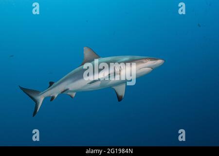 Tiburón gris de arrecife, Carcharhinus amblyrhynchos, esquina azul, Micronesia, Palau