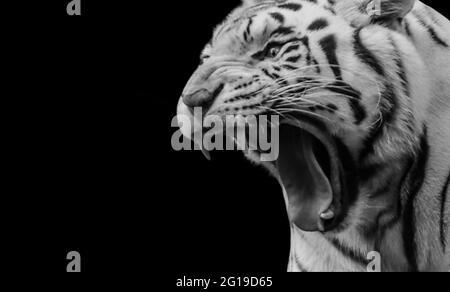 Retrato de Tigre en blanco y negro Roaring en el fondo negro