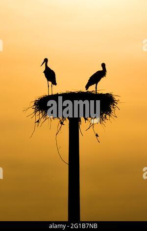 Dos garzas en el nido por la noche