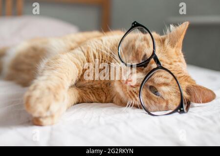 gracioso gato gordo jengibre miente en la cama y juega con gafas en marcos negros. Comienzo de un nuevo año escolar
