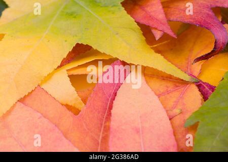 Liquidambar styraciflua. Coloridas hojas de otoño