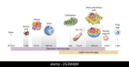 Tamaños de células dibujadas en una escala logarítmica, indicando el rango de objetos fácilmente resolubles en el microscopio de luz y de electrones