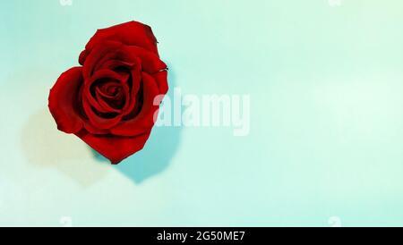Vista superior de una sola rosa roja en flor completa, con fondo azul verdoso, y espacio de copia a la derecha.