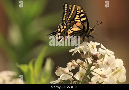 Vista de una mariposa de cola de peraleo / Papilio machaon forrajeo en flores silvestres, Norfolk, Gran Bretaña