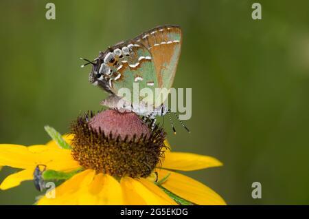 Juniper Hairstreak, Callophrys gryneus, nectaring de Susan de ojos negros, Rudbeckia hirta