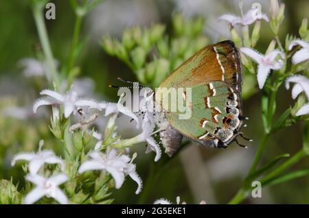 Juniper Hairstreak, Callophrys gryneus, nectaring femenino de Diamondflowers, Stenaria nigricans