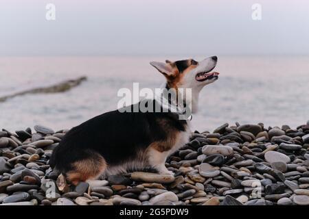 El Welsh Corgi Pembroke tricolor se encuentra en la playa de guijarros por la mañana, frente al fondo del mar azul y el amanecer. El Pastor más pequeño del mundo. Cachorro caminando en na