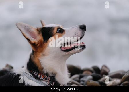 El Pastor más pequeño del mundo. Gran retrato de lindo Pembroke tricolor galés corgi cachorro contra el fondo de la playa de guijarros y el mar azul. Caminar con d