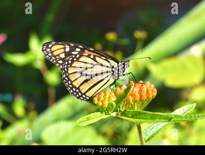 Una mariposa monarca (Danaus plexippus) descansando sobre las yemas de flores anaranjadas de la maleza de la mariposa (Asclepias tuberosa). Espacio de copia. Primer plano.