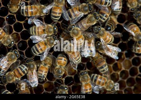 Abejas melíferas (Apis mellifera) en un marco de panal de abeja dentro de una colmena en el SW de Idaho.