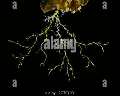 Imagen de primer plano de un molde de cal amarilla o molde de cal (Physarum polycephalum) que forma una red tubular de filamentos protoplásmicos en busca de alimentos. Atrás