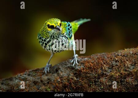 Tanager de Costa Rica. Tanager moteado, Tangara guttata, sentado en la piedra marrón. Aves tropicales en el hábitat natural. Vida silvestre en Costa Rica. Y