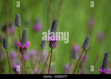 Un hermoso trébol púrpura florido de la pradera