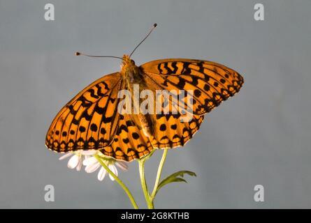 Detalle de una mariposa Zerene Frutillary, Speyeria zerene, lado dorsal, nectaring en una flor silvestre en las zonas alpinas de las montañas Ochoco en el centro