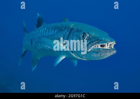 La gran barracuda, Sphyraena barracuda, puede alcanzar hasta seis pies de longitud y son relativamente raros para ver bajo el agua en Hawai.