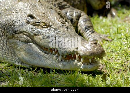 Cocodrilo de agua salada, cocodrilo estuarino (Crocodylus porosus), retrato , Australia