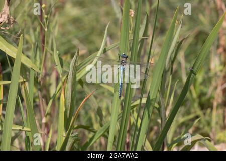 Macho único emperador libélula Anax imperator encaramado en el tallo de la planta de agua en un pequeño estanque, Cotswolds, Reino Unido