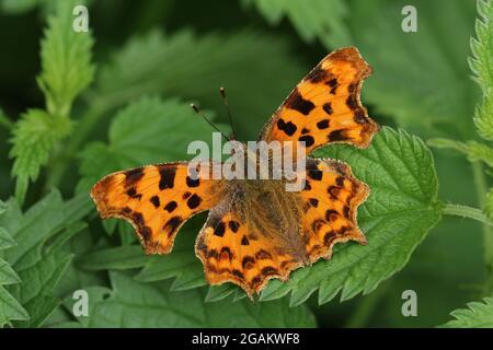 Una bonita coma mariposa, Polygonia c-álbum, descansando en una planta de ortiga.