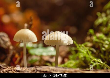 Detalle de Mycena cinerella o champiñones pequeños blancos de bonete mealy que crecen en el bosque otoñal