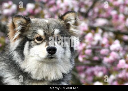 Retrato de un joven cachorro finlandés Lapphund perro delante de flores de cerezo rosa flor en primavera